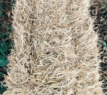 Buğda samanı