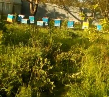 Cavan arı ailələrinin satışı