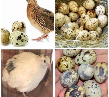 Bildirçin yumurtası