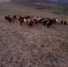 Keçi satılır