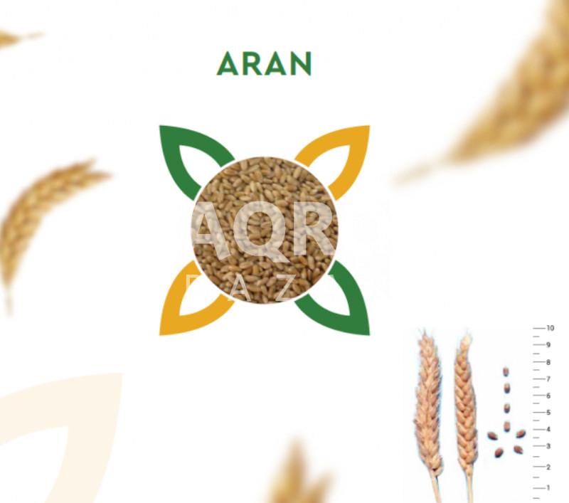 Buğda toxumu Aran R1 (Azərbaycan)