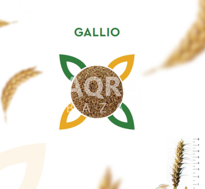 Buğda toxumu GALLIO R1 (Avstriya)