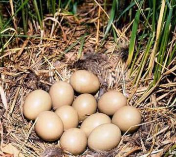 Qırqovul yumurtası