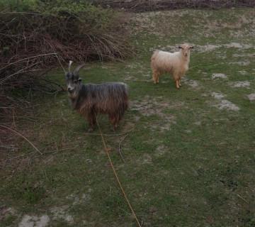 Keciler satilir ekizdiler.Agdas rayonu