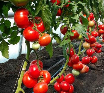 Pomidor Satılır Mohito qırmızıdı