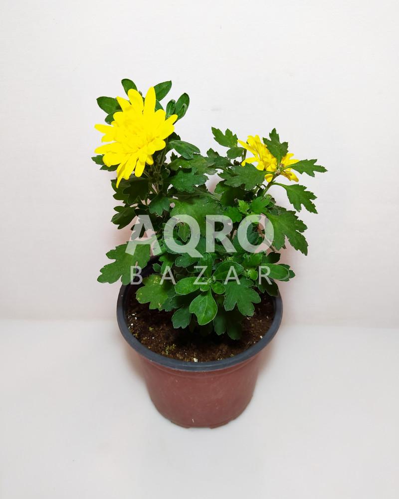 Xrizantema
