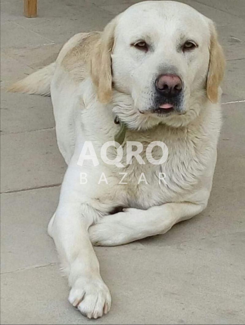 Labrador balaları satılır!