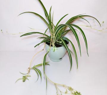 Xlorofitum