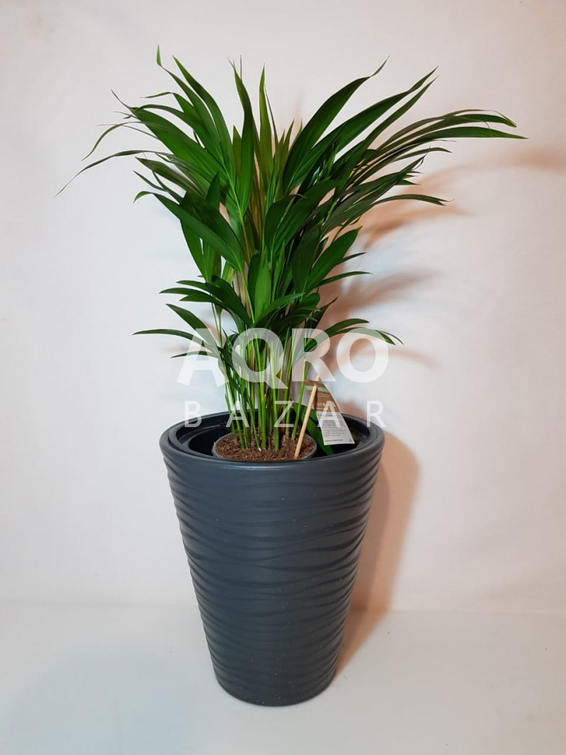 Palma dypsis