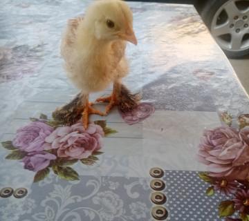 Ev quşlarının satışı
