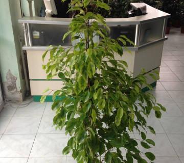 Ficus benjamin Reginald 24-145