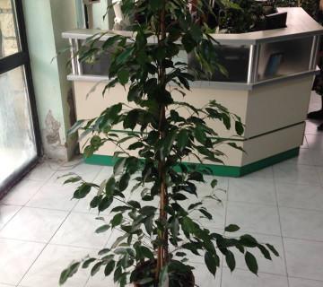 Ficus benjamin Exotica 27-150