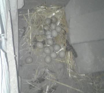 Qırqovul yumurtaları
