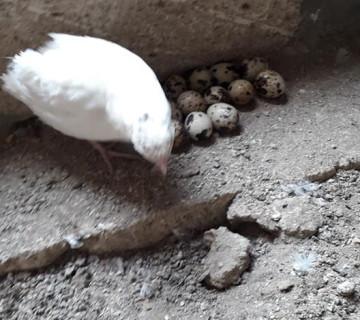 Texas bildircin mayali yumurtalar