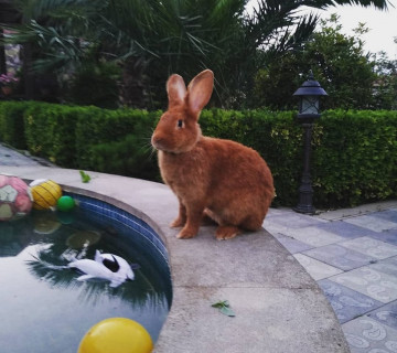 Burgunski dovşan