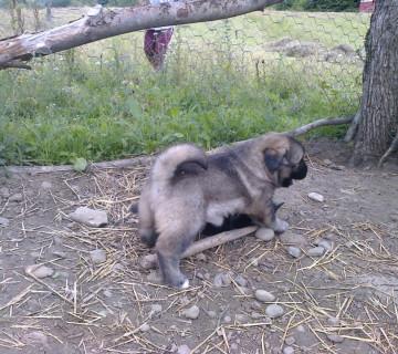 Kavkazski ovcarka
