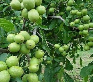 Türkiyədən qoz ağacları