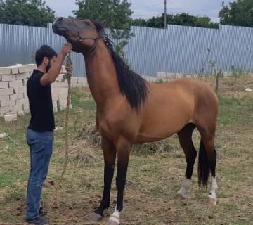 Qarabag atı