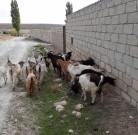 Keçilər
