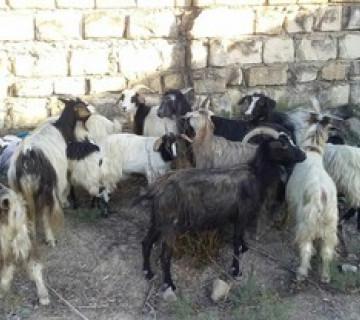 12 baş keçi