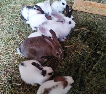 Bala yerli dovşanlar satılır