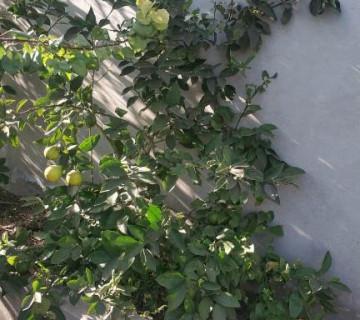 Kinkan & Limon Ağacları