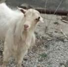 Ramanov qoyunları ve Sanen keçileri