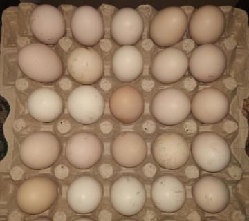 Brama yumurtaları