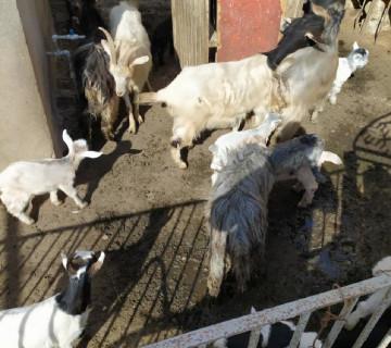 Yanı balalı keçilər