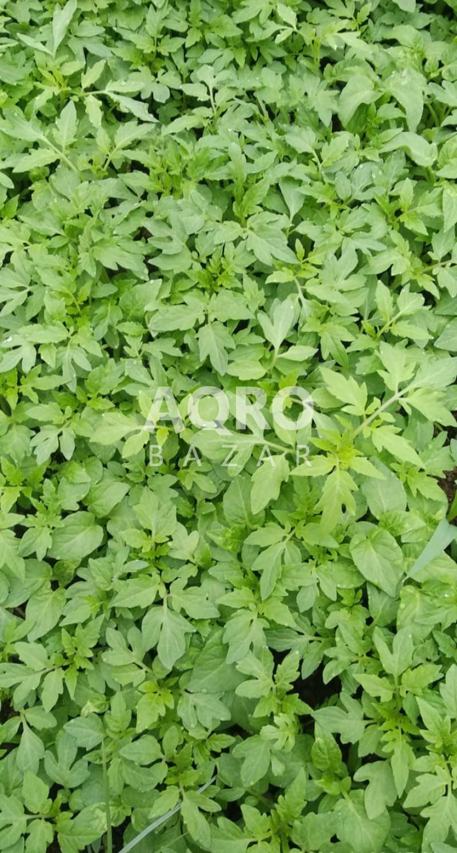 Müxtəlif növ şitillerin Satışı