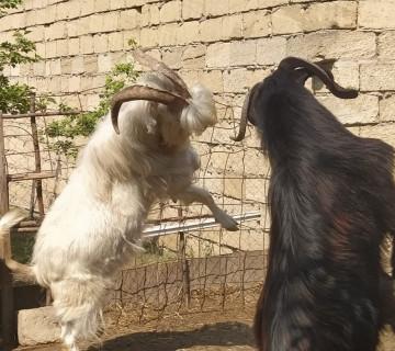 Sanen və Hələb keçiləri